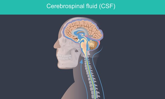 Cerebrospinal fluid - picture of brain and spine